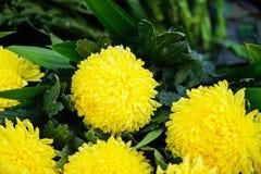 Świeży piękny jaskrawy zaokrąglony żółty kwitnący chryzantemy pompon kwiatu przedpole z zielenią opuszcza tło zdjęcia royalty free