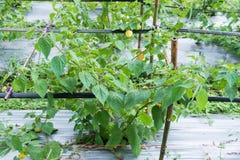 świeży przylądka agrest w ogródzie Zdjęcie Stock