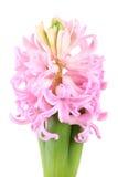 Świeży różowy hiacynt Zdjęcia Stock