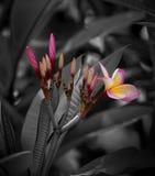 Świeży różowy plumeria flower& x28; kolory na B&W background& x29; obraz stock