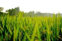 świeży ranku ricefield Zdjęcie Stock