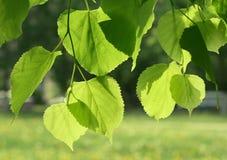 świeży rozjarzony zielony liść wiosna światło słoneczne Obrazy Stock