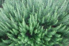 Świeży rozmarynowy ziele Zdjęcia Royalty Free