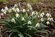 Świeży snowbells kwiat w wiośnie Fotografia Stock
