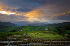 Świeży tarasowy ryżu pole zdjęcia royalty free