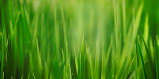 Świeży trawy pola zakończenie up z bokeh backround Obraz Royalty Free