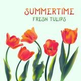 Świeży tulipan kwitnie ilustrację Zdjęcie Stock