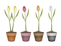 Świeży tulipan Kwitnie w Cztery Ceramicznych garnkach ilustracji