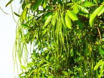 Świeży ulistnienie ośmiornicy drzewo strzelał pod światłem słonecznym obrazy royalty free