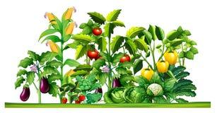 Świeży warzywo zasadza dorośnięcie w ogródzie royalty ilustracja