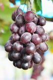 Świeży winogrono Zdjęcie Royalty Free