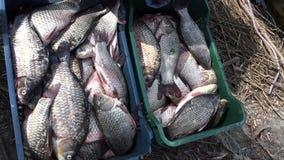 Świeży złapany jezioro łowi w pudełkach 4K zbiory