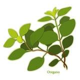 świeży zielarski włoski oregano Obrazy Royalty Free