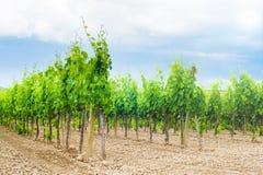 Świeży zieleni pole winogrona w Chianti Obraz Stock