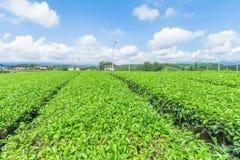 Świeży zielonej herbaty gospodarstwo rolne w wiośnie, rząd herbaciane plantacje Fotografia Royalty Free