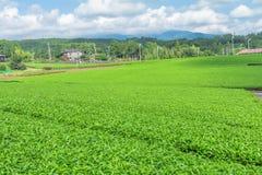 Świeży zielonej herbaty gospodarstwo rolne w wiośnie, rząd herbaciane plantacje Japane Zdjęcia Stock