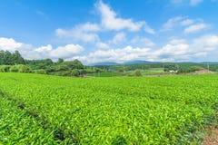 Świeży zielonej herbaty gospodarstwo rolne w wiośnie, rząd herbaciane plantacje Japane Obraz Stock