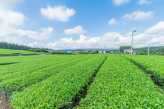 Świeży zielonej herbaty gospodarstwo rolne w wiośnie, rząd herbaciane plantacje Japane Fotografia Stock
