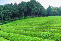 Świeży zielonej herbaty gospodarstwo rolne w wiośnie, rząd herbaciane plantacje Japane Obrazy Royalty Free