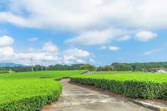 Świeży zielonej herbaty gospodarstwo rolne w wiośnie, rząd herbaciane plantacje Japane Obrazy Stock