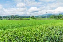 Świeży zielonej herbaty gospodarstwo rolne w wiośnie, rząd herbaciane plantacje Japane Zdjęcia Royalty Free