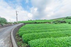 Świeży zielonej herbaty gospodarstwo rolne w wiośnie, rząd herbaciane plantacje Japane Zdjęcie Royalty Free