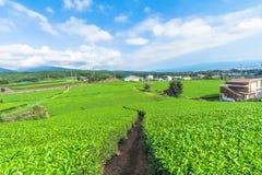 Świeży zielonej herbaty gospodarstwo rolne w wiośnie, rząd herbaciane plantacje Japane Fotografia Royalty Free