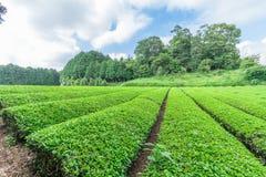 Świeży zielonej herbaty gospodarstwo rolne w wiośnie, rząd herbaciane plantacje Japane Obraz Royalty Free
