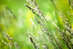 Świeży zielonej trawy pole na zamazanym bokeh tle zamkniętym w górę, ucho na łąkowej miękkiej ostrości makro-, piękny światła sło obrazy royalty free