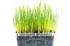 Świeży zielonej trawy tło zdjęcie stock