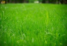 Świeży zielonej trawy zakończenie up Zdjęcie Royalty Free
