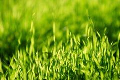 Świeży zielonej trawy zakończenie up, selekcyjna ostrość Obraz Royalty Free