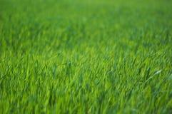 Świeży zielonej trawy zakończenie up, selekcyjna ostrość Zdjęcie Royalty Free