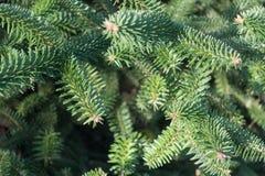 Świeży zielony świerkowy tło Zdjęcia Stock