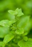 Świeży zielony aromatyczny nowy cytryna balsamu miętowy makro- zbliżenie zdjęcia royalty free