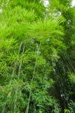 Świeży zielony bambusowy las Fotografia Royalty Free