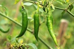 Świeży zielony chili Zdjęcie Stock