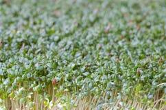 Świeży zielony cress Obraz Royalty Free