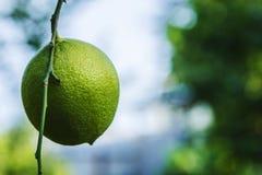 Świeży zielony cytryny obwieszenie na gałąź z liśćmi na drzewie ogrodowy organicznie obrazy royalty free