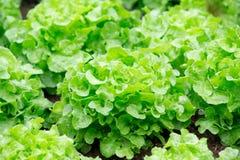 Świeży zielony dębowy warzywo Zdjęcia Royalty Free