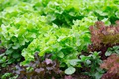 Świeży zielony dębowy warzywo Zdjęcie Stock