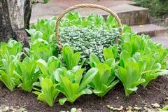 Świeży zielony dębowy warzywo Zdjęcie Royalty Free