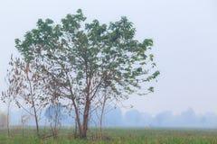 Świeży zielony drzewo i kostka do gry drzewo z białą mgłą w ranku Zdjęcia Royalty Free