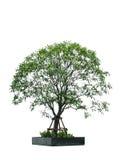 Świeży zielony drzewo na odosobnionym tle Zdjęcie Stock