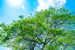 Świeży zielony drzewo nad niebieskiego nieba tłem Zdjęcie Stock