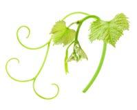 Świeży Zielony Gronowy liść obrazy stock