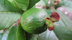 Świeży zielony guava zdjęcia royalty free