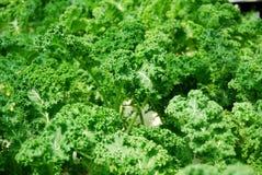 Świeży zielony kale Zdjęcia Royalty Free