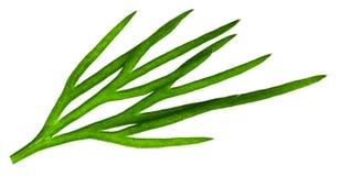 Świeży zielony koper odizolowywający na białym tle Makro- zdjęcia stock