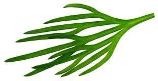 Świeży zielony koper odizolowywający na białym tle Makro- fotografia royalty free